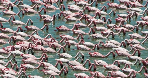 Watch how Flamingos looking for food in Tarangire National Park during your next trip to Tanzania.