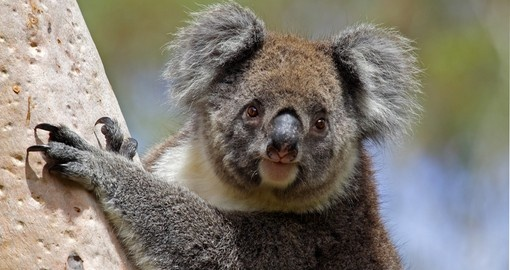 Experience Wild Koala up-close during your Australia tours.
