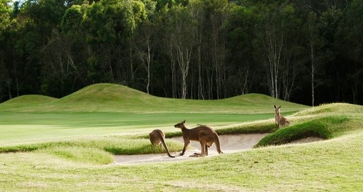 Kangaroos on the golf course - always a great photo opportunity when golfing on your Australia vacation.