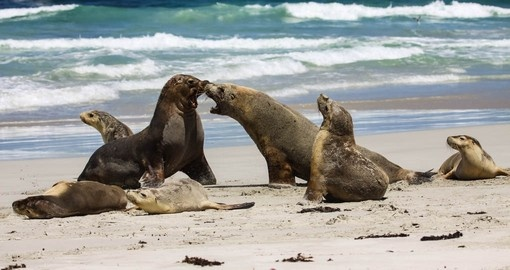 Australian Fur Seals will be seen on your Trip to Australia