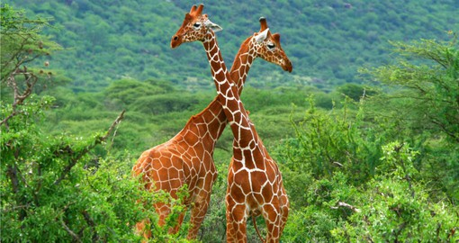 Begin your Kenyan Safari with a visit to the Samburu National Park home to a large population of Reticulated Giraffe