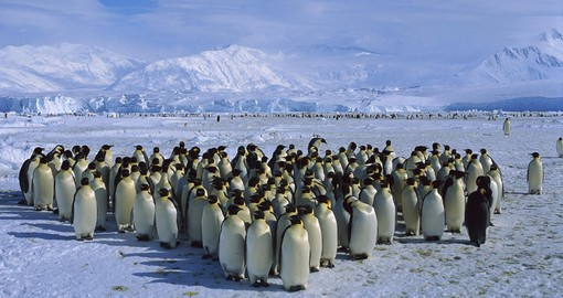The emperor is the largest of the 18 penguin species with adults weighing up to 40 kg