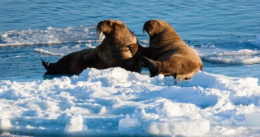Walrus resting on packed ice