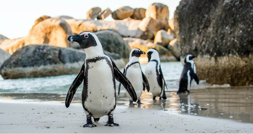 Boulders Beach is home to a large colony of African Penguins