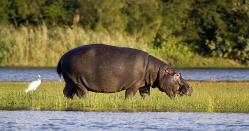 iSimangaliso, a UNESCO World Heritage site, is home to South Africa's largest pods of Hippopotami