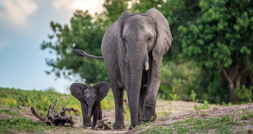 The Chobe River supports the largest concentration of Elephant found anywhere in Africa