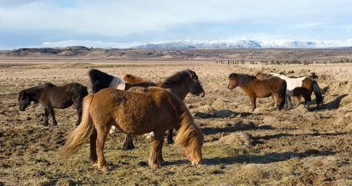Wild Horses Standing in a Field with Mountains on the Horizon