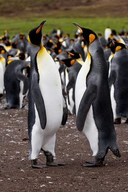 King penguins in a colony