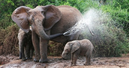 An African elephant mother & baby cooling off at a water hole is one of the possible sightings during your South Africa vacation.