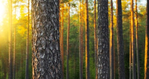 Nordic pine forest in the evening light