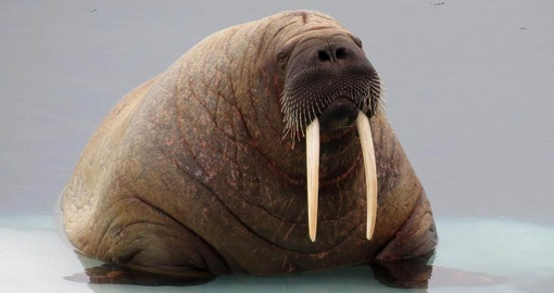 See Walruses and other unique wildlife