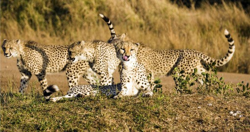 You will have the privilege to meet Cheetah Cubs in Phinda Game Reserve during your next trip to South Africa.