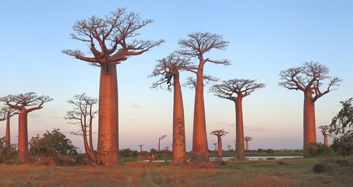 During your Madagascar Tour visit Baobab Alley