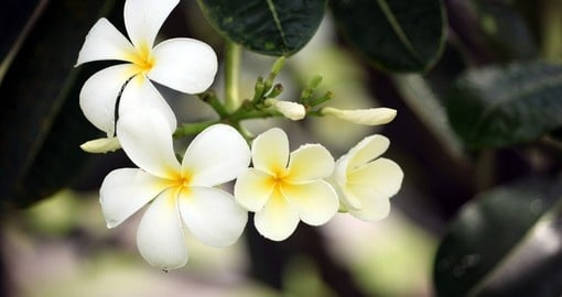 Enjoy the smell and view of frangipani flowers during your next Fiji vacations.