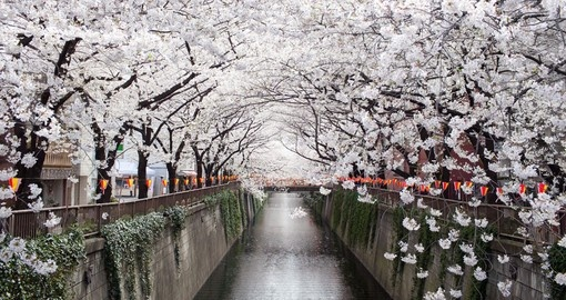 Feel the falling cherry blossom petals as the rain down from the trees on your Japanese Vacation