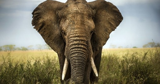 The might African Elephant is a member of the Big 5 and a lasting image from your Kenyan Safari