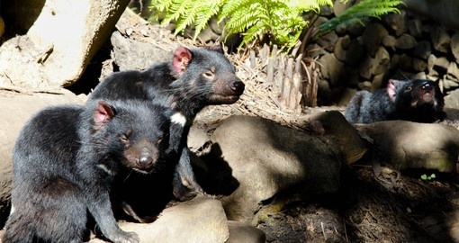 See Tasmanian Devils and other unique wildlife on your Australia Vacation