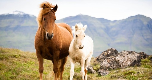 Horses Roam the Fields of Iceland
