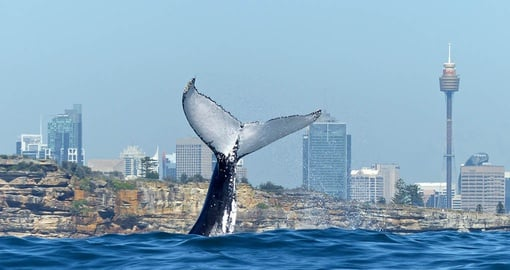 Watch whales in Sydney  on your Australia Vacation