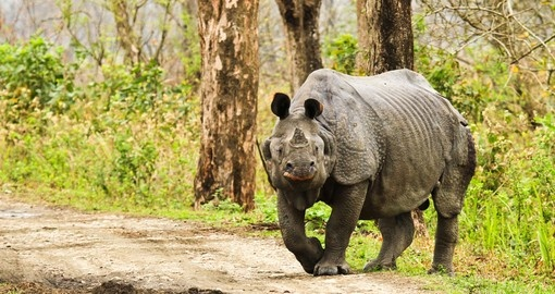 Rhinoceros in Kaziranga National Park
