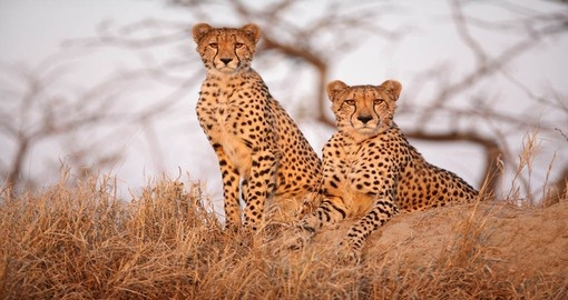You will be able to meet Cheetah with cub and its family during your next South Africa tours.