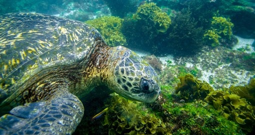 Turtle swimming underwater in Galapagos islands