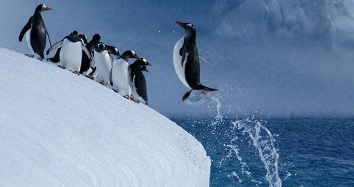 Penguin jumping back onto land after a swim
