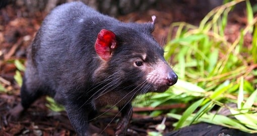 Hear The Wild Call Of The Tasmanian Devil
