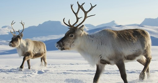 Reindeers living in Tromso region