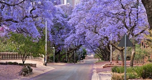 Jacaranda trees lining the street in Pretoria are a great photo opportunity while on your South Africa safari.