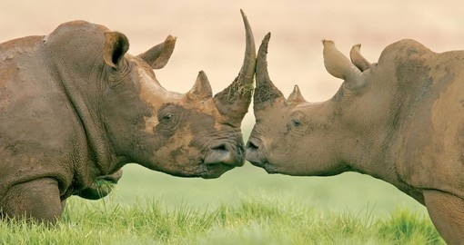 White rhinos kissing