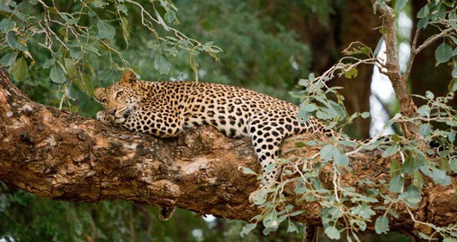 Pafuri Camp is known for regular sightings of leopard