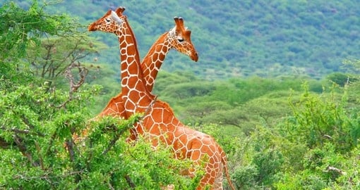 Giraffes in Samburu National Park - A great photo opportunity on your Kenya safari.