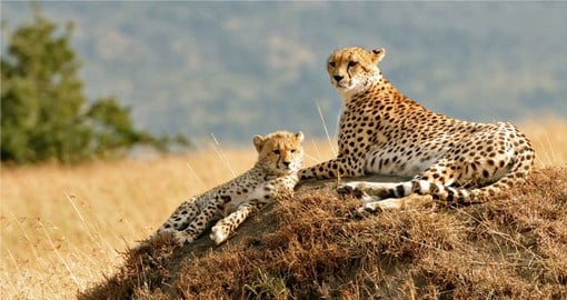 Experience the elusive African Cheetah on your Kenya Safari