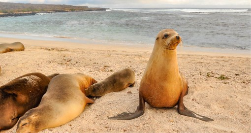 Galápagos fur seals are the smallest of the species and spend 70% of their time on land