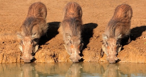 Meet a family of warthogs and watch their daily routine on your next trip to South Africa.