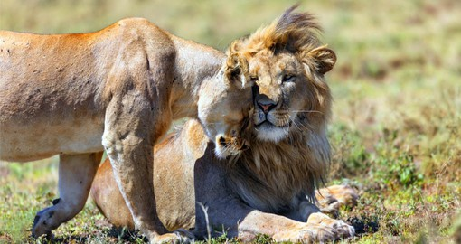 The Ngorongoro Crater boasts the highest density of both lions and overall predators in Africa