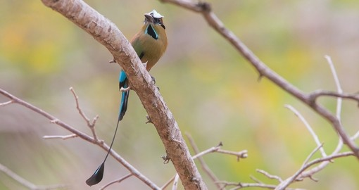 The browed motmot is the national bird of Nicaragua