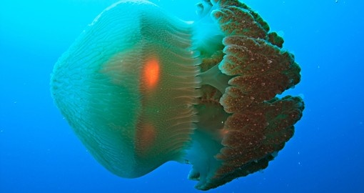Discover natures majestic Jellyfish in the Great Barrier Reef on your next Australia Tours.