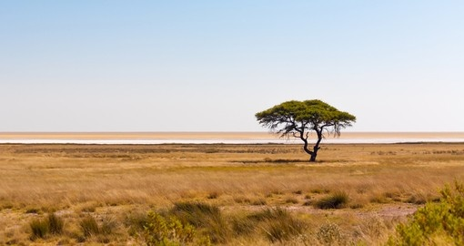 A lone acacia tree standing in the grasslands in Etosha National Park - a popular inclusion on Namibia tours.