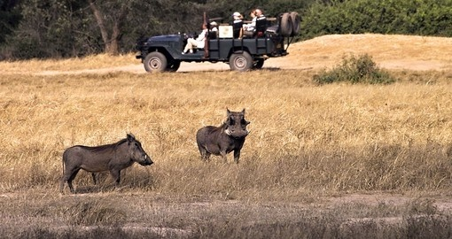 Onboard a safari vehicle and seeing warthogs in the Lower Zambezi National Park is always a highlight on Zambia safaris.