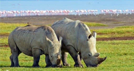 Your Kenya vacation visits Lake Nakuru National Park, home to a population of White Rhinos