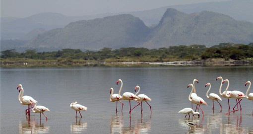 Continue your Kenya tour to Lake Elementaita famous for it's flocks of Lesser Flamingos