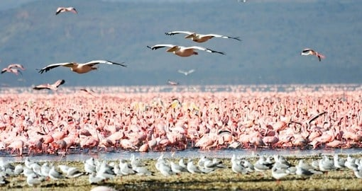 Flamingoes and Pelicans at Lake Nakuru