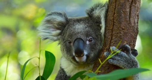 The cuddly koala, not a bear but a marsupial, is always a great photo opportunity while on your Australia vacation.