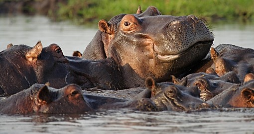 Hippos on the Chobe River - A great photo opportunity on your Botswana safari.