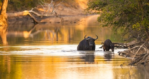 Cape Buffalo Drinking from river
