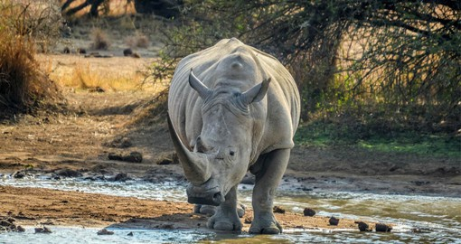 The white rhino occurs in larger numbers in Pilanesberg National Park