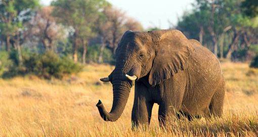 A recent census estimated that Botswana had 130,451 elephants, the highest density on the continent