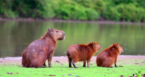 Capybaras, the largest rodent in the world are native to the Amazon basin